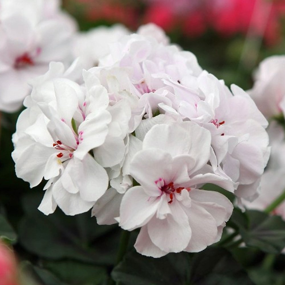 Great Balls of Fire™ White Ivy Geranium Plants for Sale | Free ...