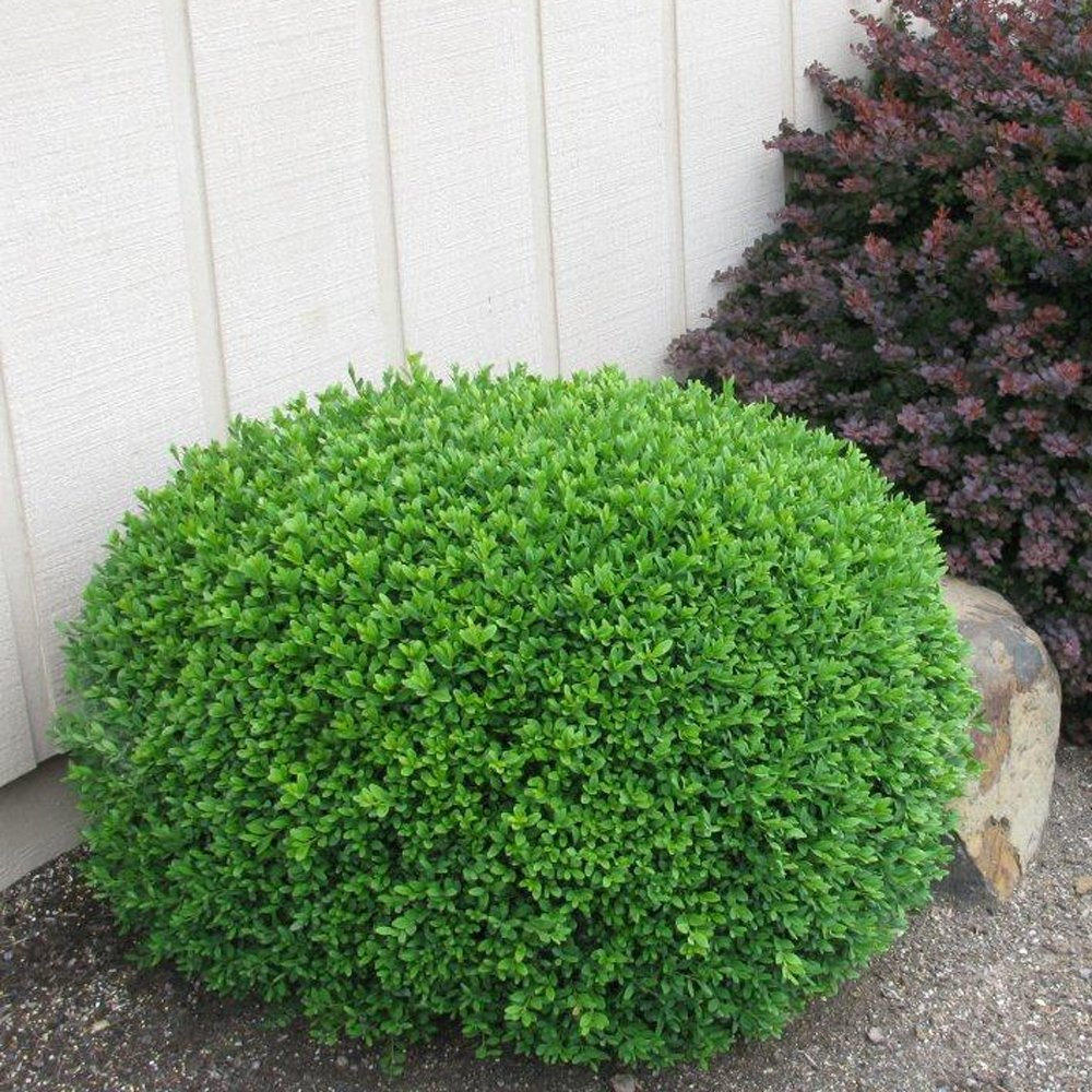 What To Plant In A Fall Vegetable Garden: Green Gem Buxus Plants For Sale