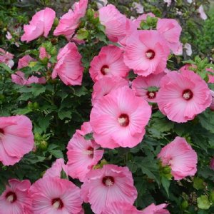 Rose Mallow Plant Hardy Hibiscus Plants For Sale Growjoy