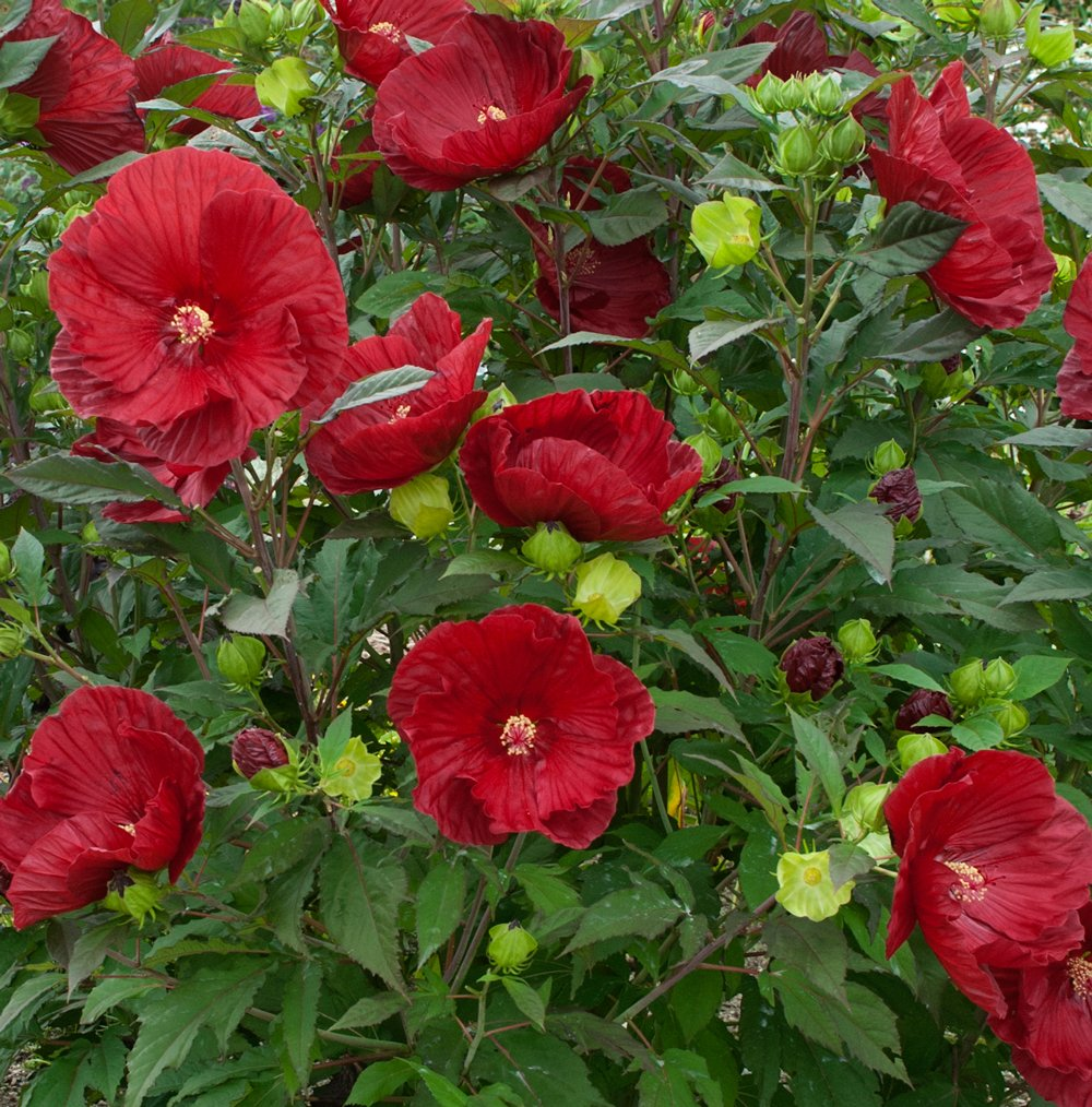 Summerific Cranberry Crush Hardy Hibiscus Plants For Sale Rose