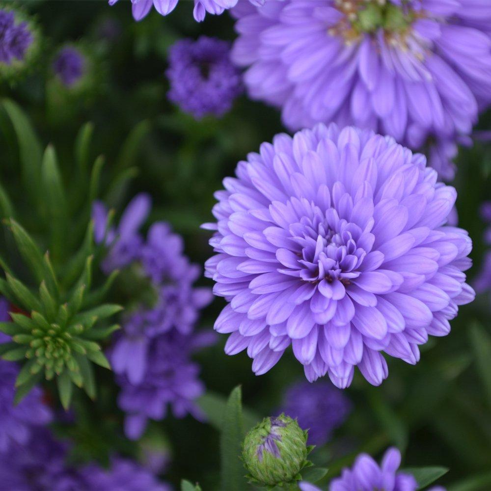 Henry III Purple Fall Aster Plants For Sale