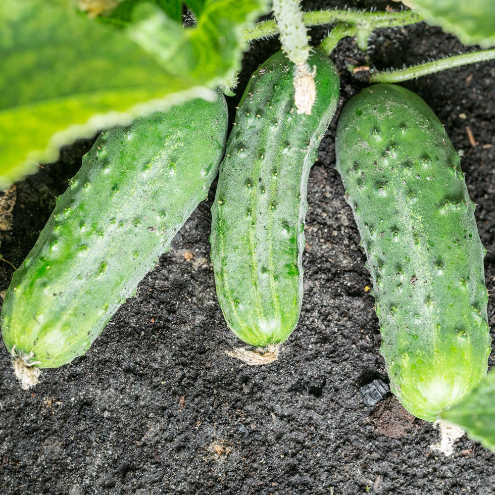 Homemade Pickles Cucumber Plants For Sale Free Shipping