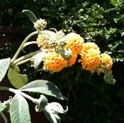 Buddleia Varieties Butterfly Bush Plants For Sale