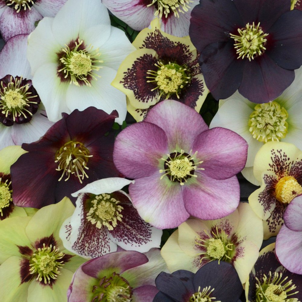 honeymoon mix helleborus plants for sale