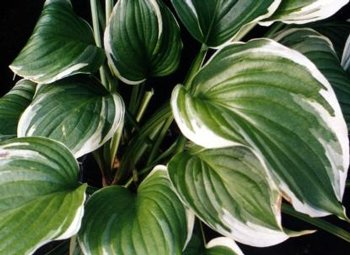 Aureo Marginata Hosta Plants For Sale Plantain Lily Free Shipping