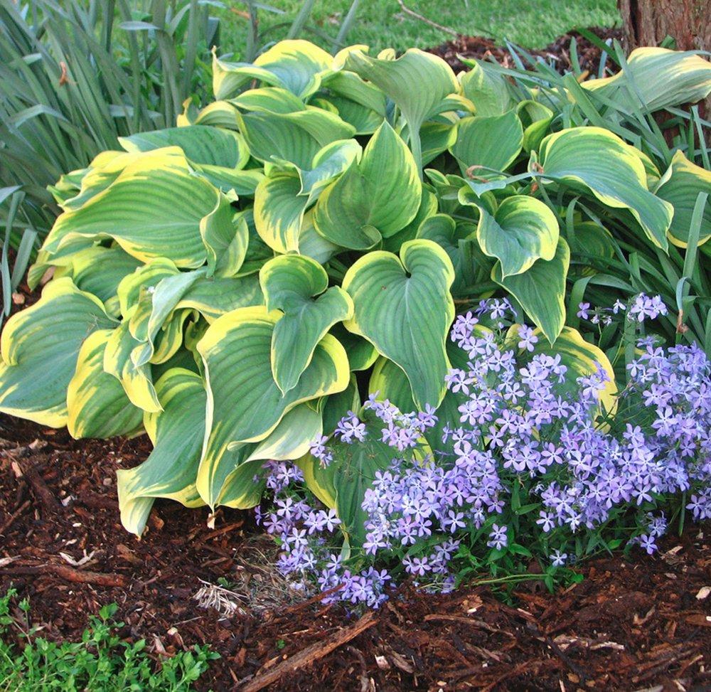 Sagae Hosta Plants For Sale Plantain Lily Free Shipping