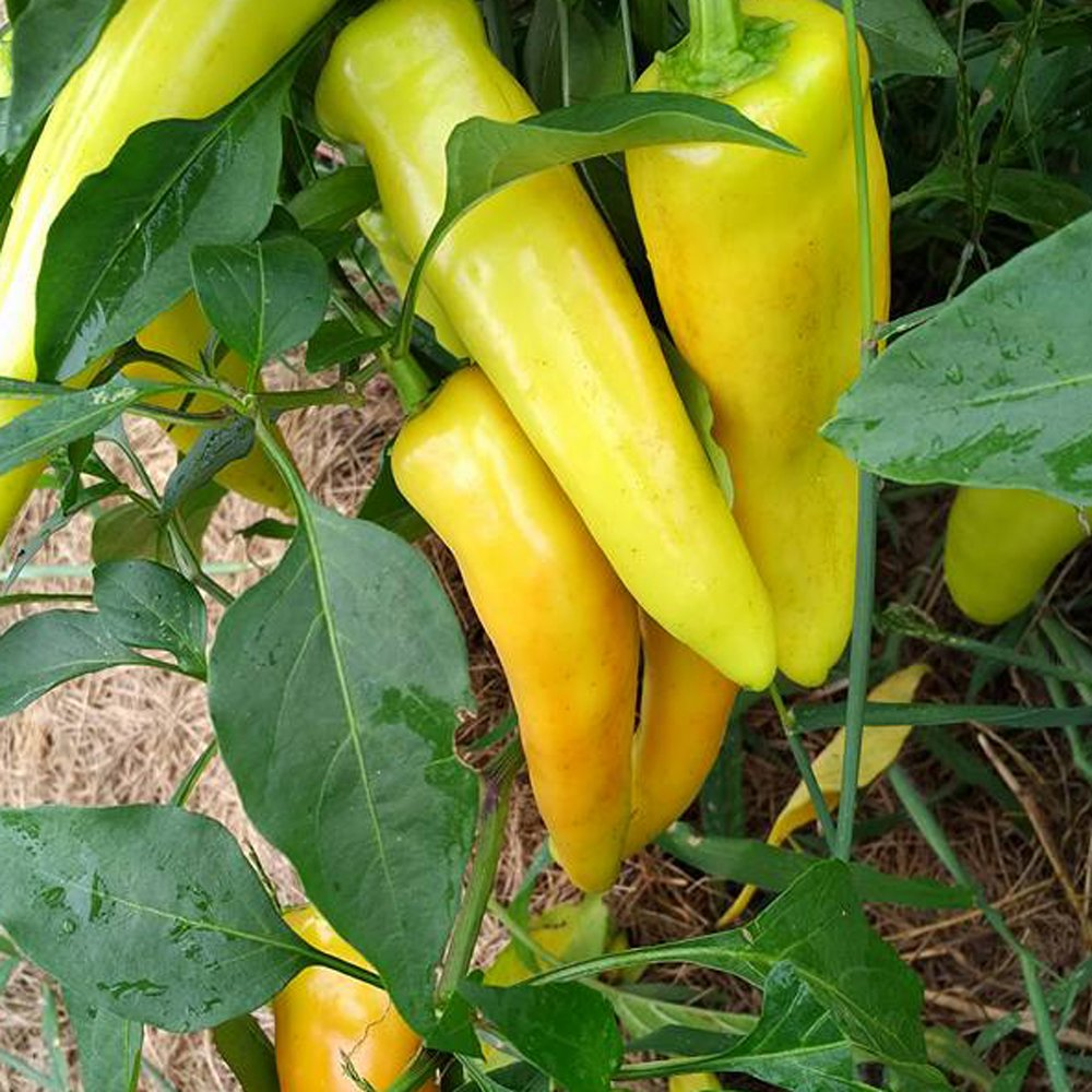 Hungarian Wax Hot Pepper Plants For Sale Free Shipping