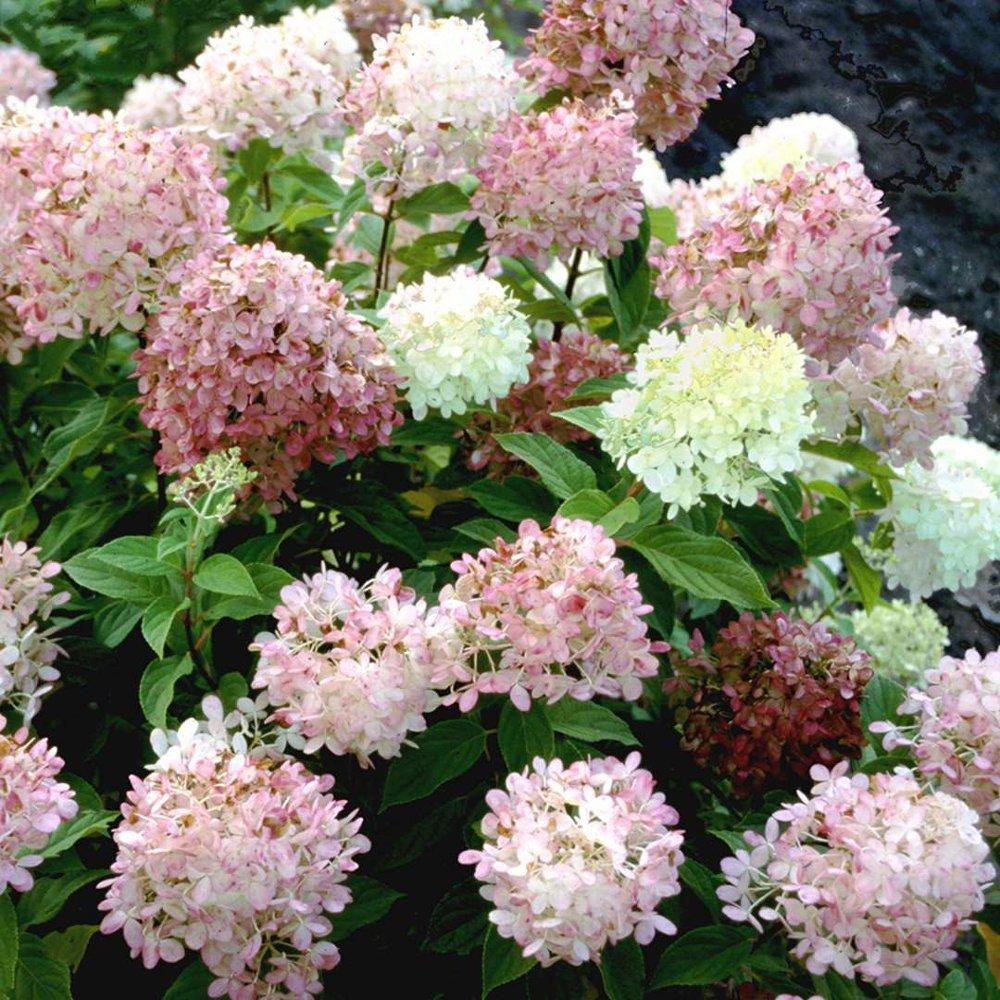 Plant Hydrangeas: Limelight - Hydrangea Plant