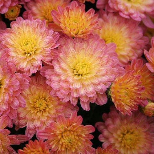 Yoder Garden Mum | Jacqueline Peach Fusion | Chrysanthemum Plant   2.5 Inch  Pot