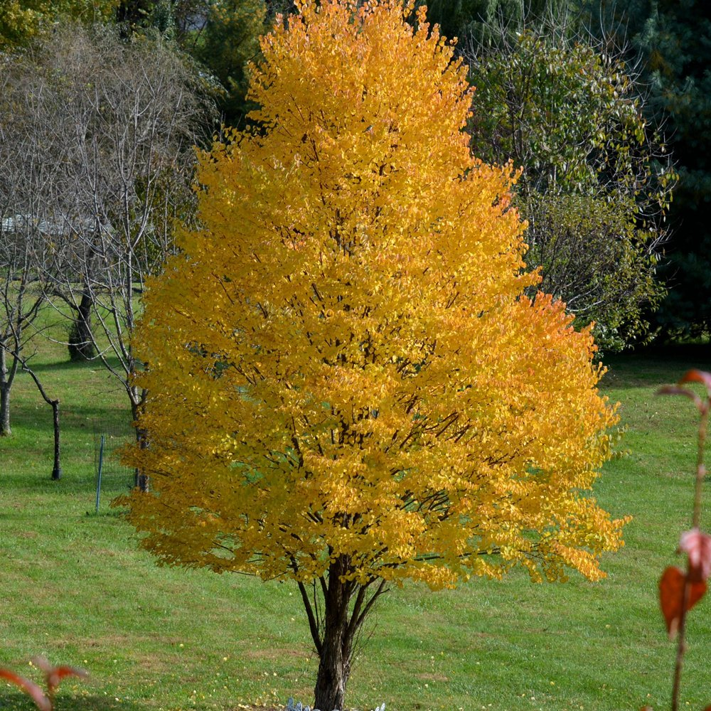 Katsura Acer Plants For Sale Japanese Maple Free Shipping