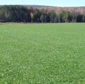 kentucky bluegrass seed for sale