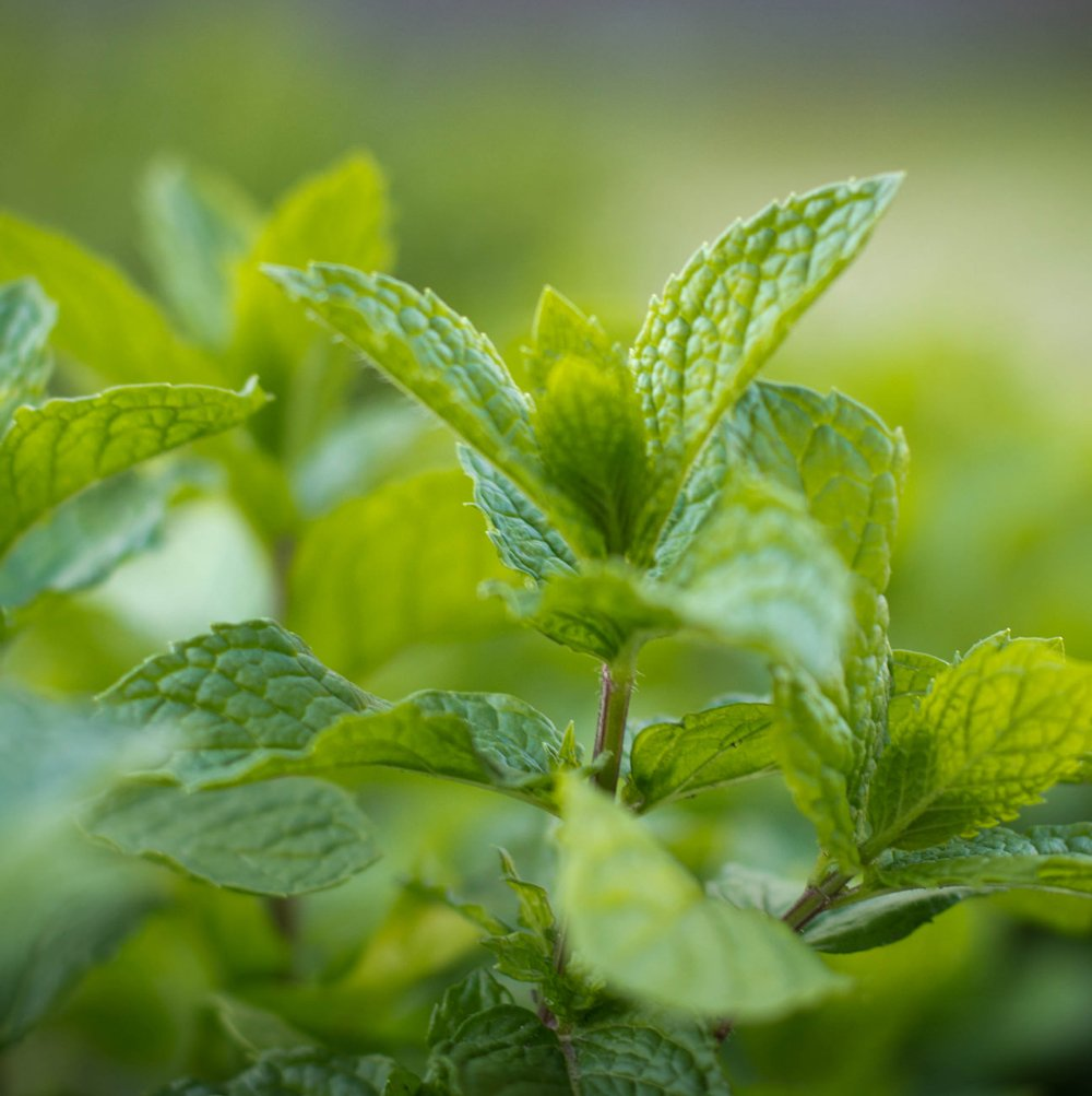 Lesser-Known Uses Of Mint For Skin Care. Read On | KalingaTV
