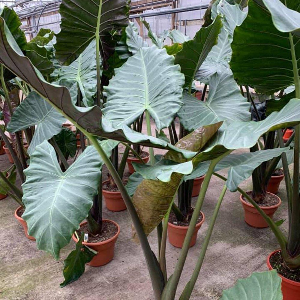Kuching Mask Alocasia Plants For Sale Elephant Ears
