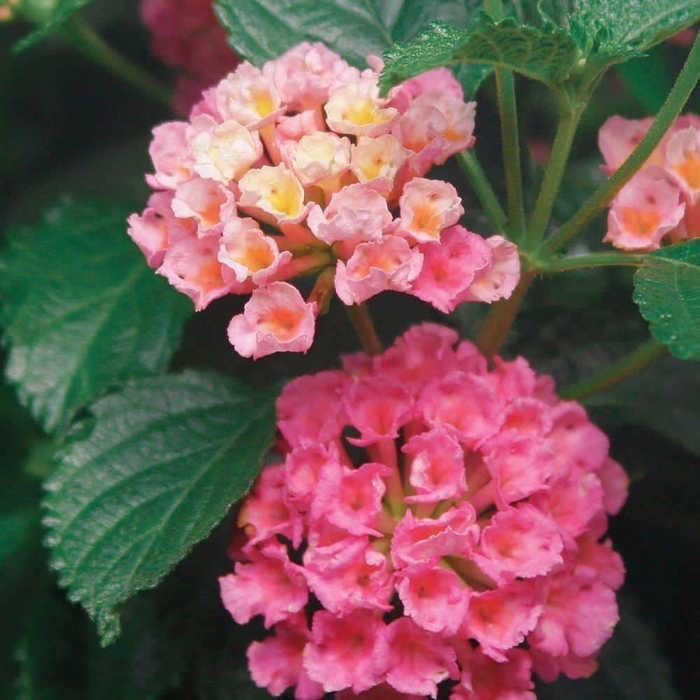 Landscape Bandana Pink Lantana Plants For Sale Free Shipping