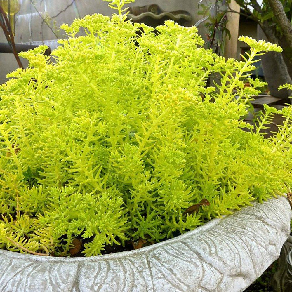 Lemon Ball Sedum Plants For Sale Stonecrop Free Shipping