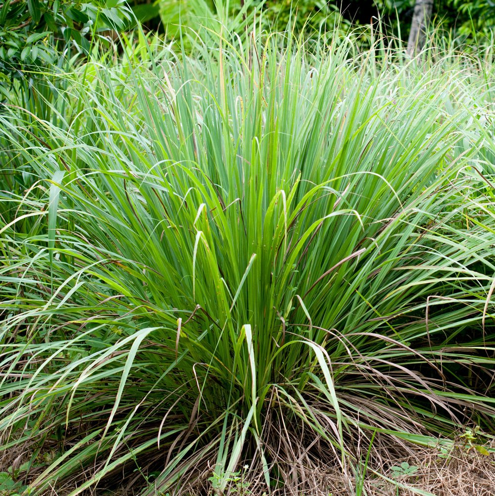 Lemongrass Herb Plants For Sale Free Shipping