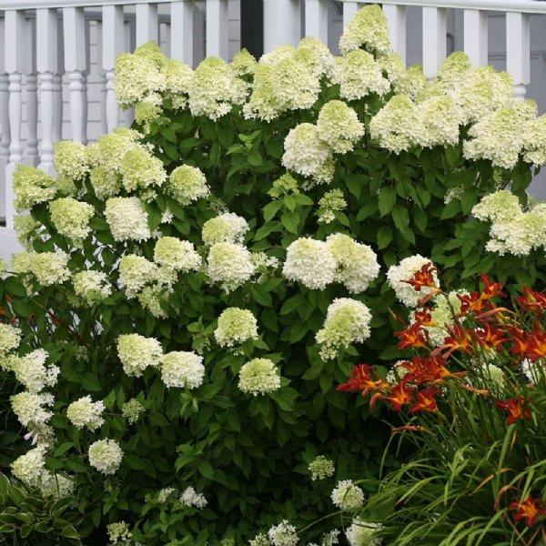 Dwarf Limelight Hydrangea Landscaping