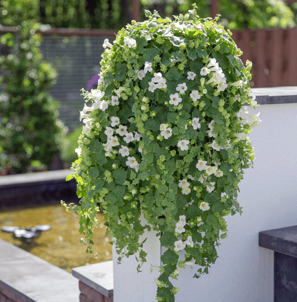 Lophospermum Lofos White Trailing Creeping Gloxinia Plant 25