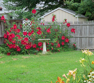 Lord Baltimore Hardy Hibiscus Plants For Sale Rose Mallow Free