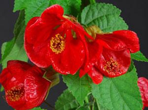 Lucky Lantern Red Abutilon Plant Growjoycom