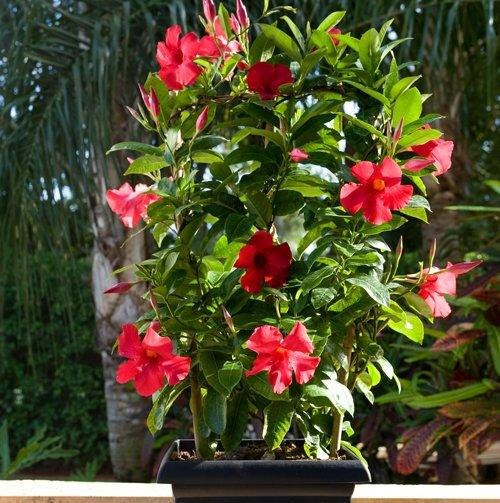 Sun Parasol Giant Crimson Rocktrumpet Mandevilla Plant