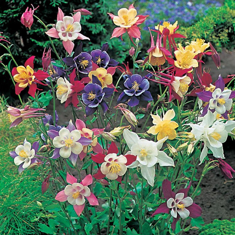 Mckana Hybrids Aquilegia Plants For Sale Columbine Free Shipping