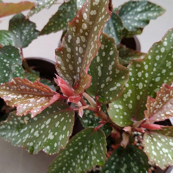 Medora Angel Wing Begonia Plant
