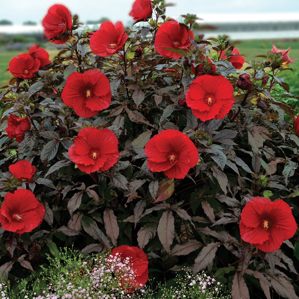 Midnight Marvel Hardy Hibiscus Plants For Sale Rose Mallow Free