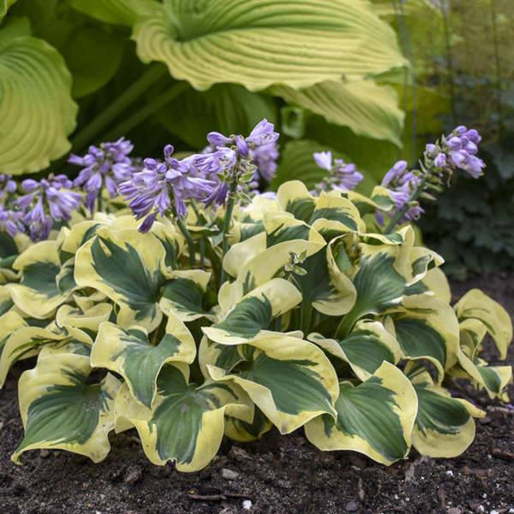 Mini Skirt Hosta Plants For Sale Plantain Lily Free Shipping