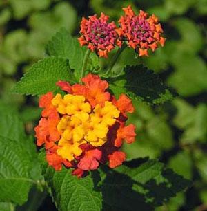 Miss Huff Lantana Plant