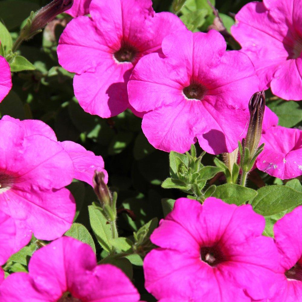Neon Rose Easy Wave Petunia Plant