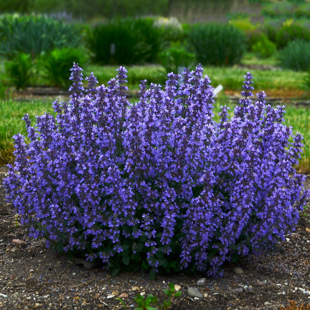Cat S Pajamas Nepeta Plants For Sale Catmint Free Shipping