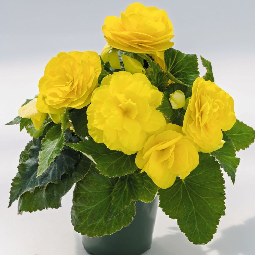 Nonstop Yellow Begonia Plants For Sale Free Shipping