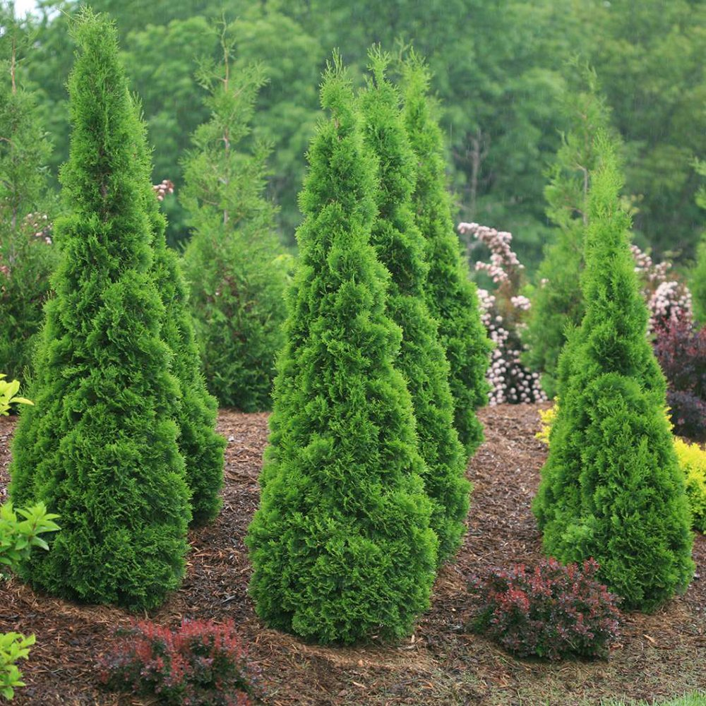 North Pole Arborvitae Plants For Sale Thuja Free Shipping