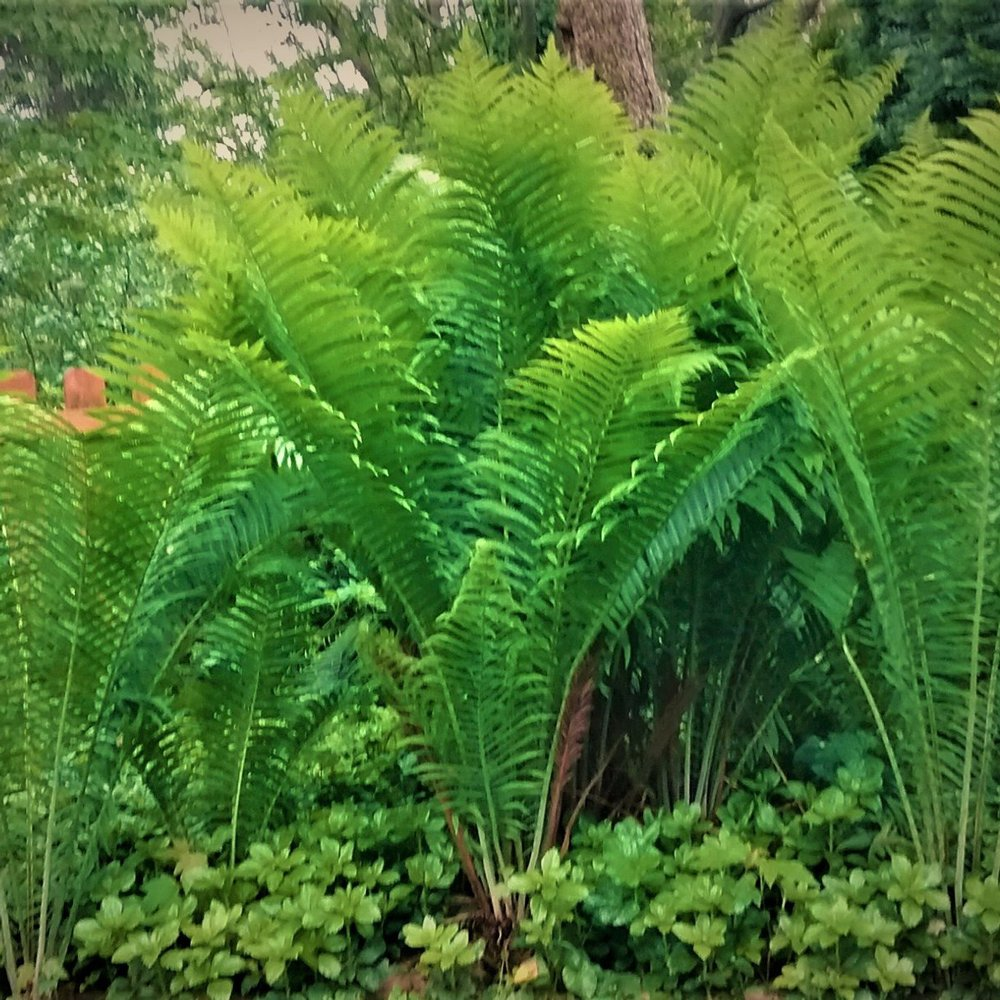Ostrich The King Fern Plants For Sale Free Shipping