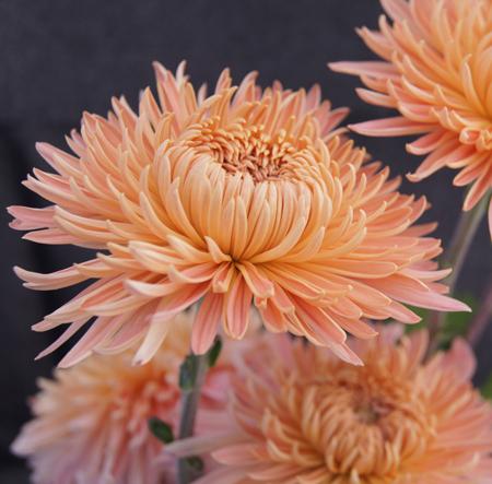 Pat lehman perennial mum plant growjoy pat lehman perennial mum plant mightylinksfo
