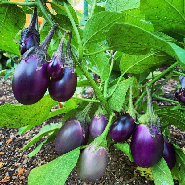 Patio Baby Eggplant Plants For Sale