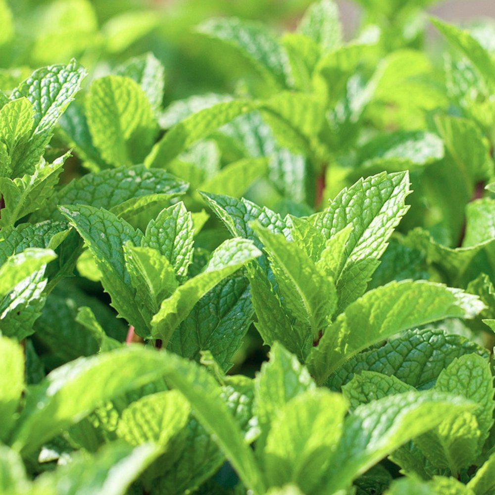 peppermint mint herb plant Peppermint Cocoa