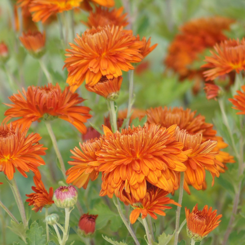 Autumn Fire Perennial Mum Plant Growjoy