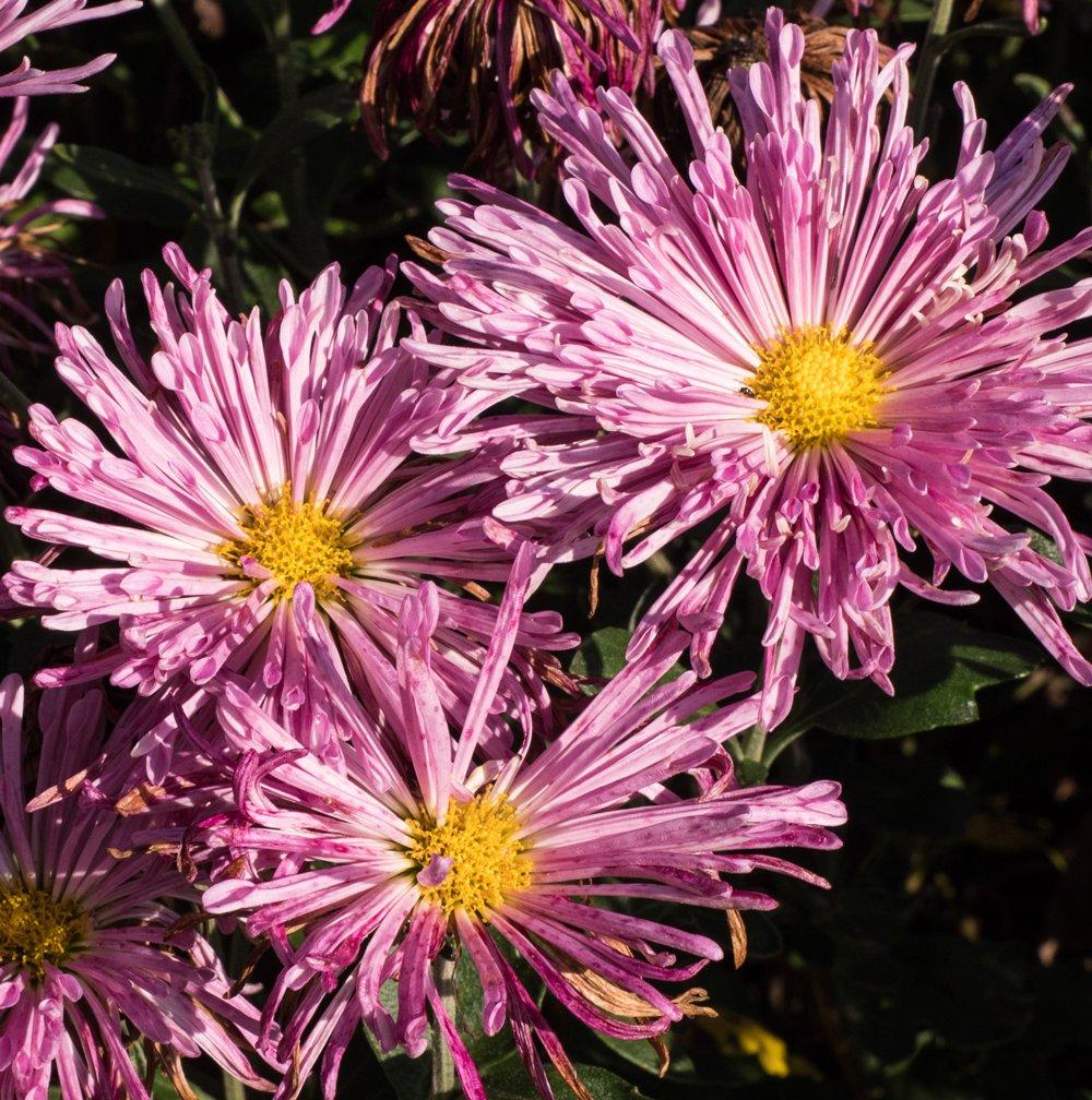 Centerpiece Perennial Mum Plant Growjoy