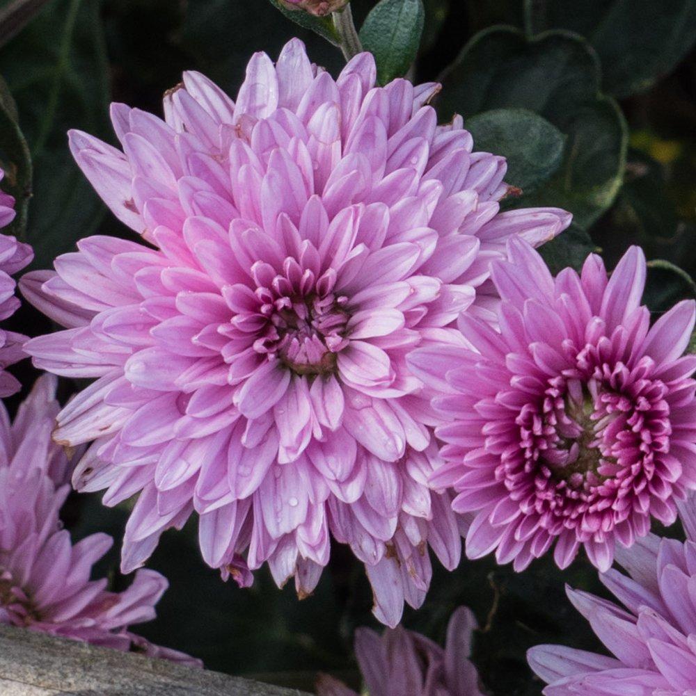 Grandchild Perennial Mum Live Plant 25 Inch Pot
