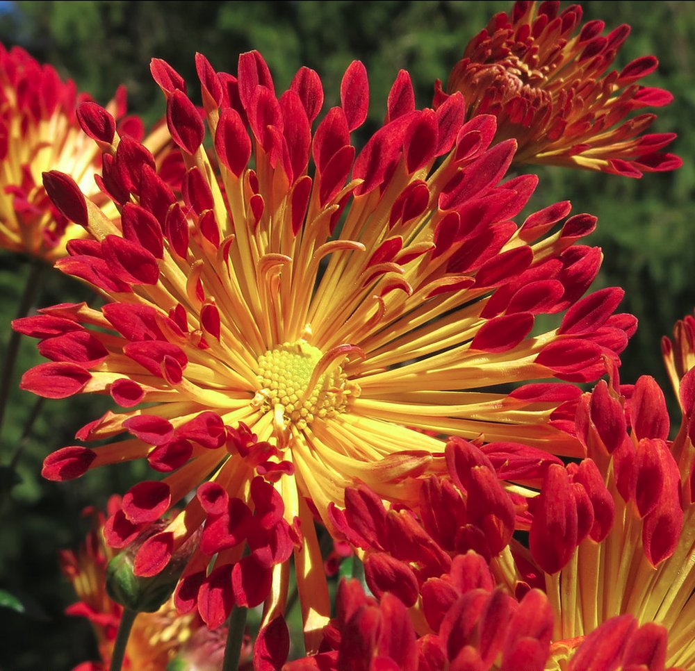Matchstick Perennial Mum Plant