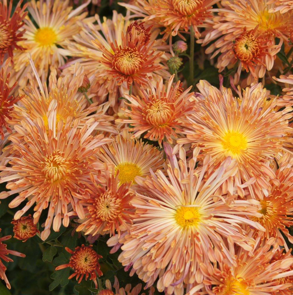 Peach Centerpiece Perennial Mum Plant Growjoy
