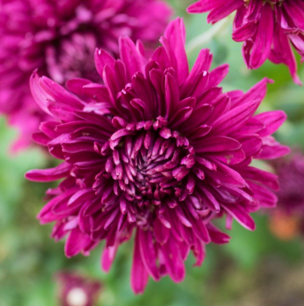 Purple Waters Perennial Mum Live Plant 25 Inch Pot