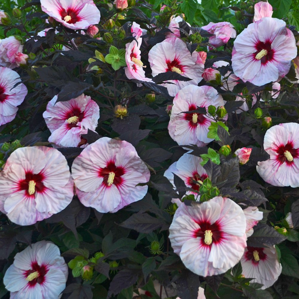 Summerific Perfect Storm Hardy Hibiscus Plants For Sale Rose Mallow