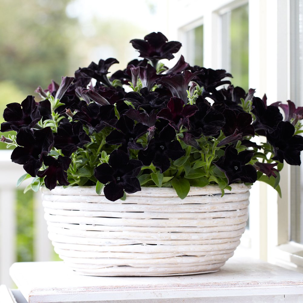 Crazytunia Black Mamba Petunia Plant Growjoy Com