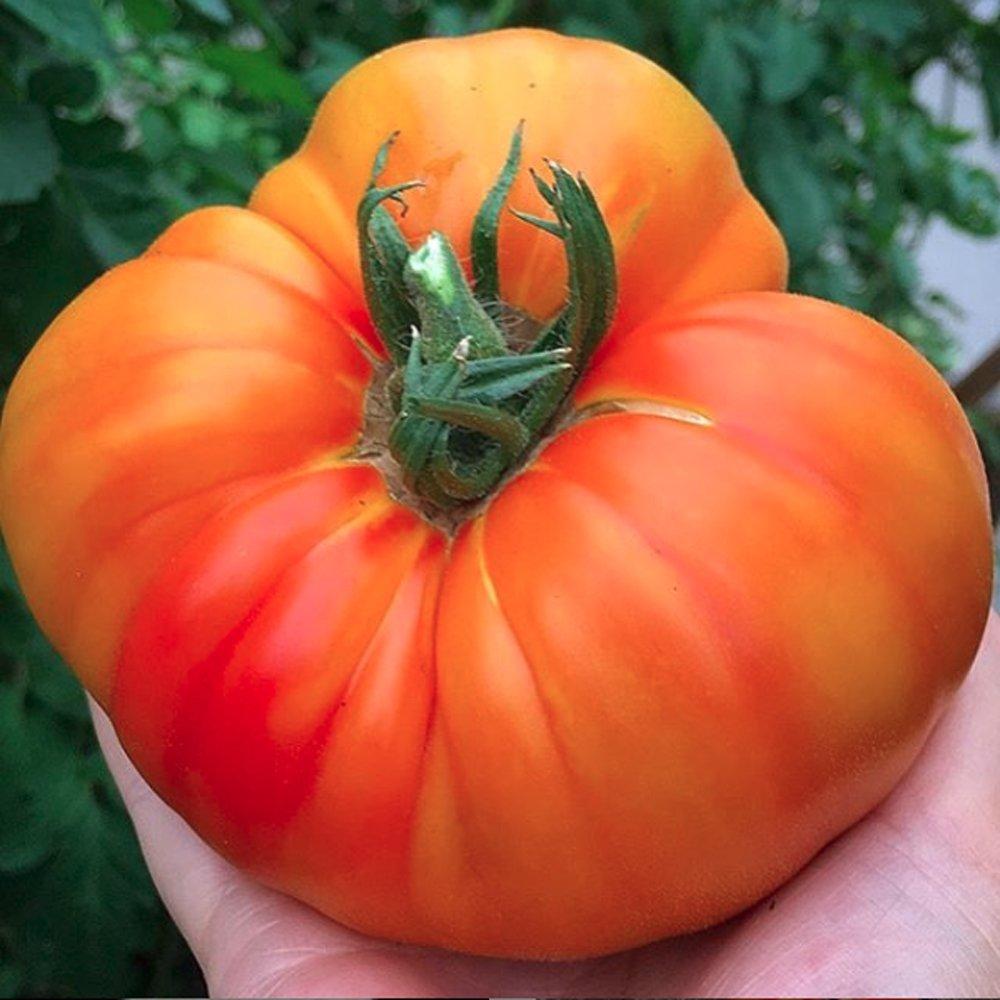 Pinele Tomato Plants For Free
