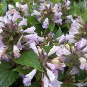 potted nepeta catmint plants for sale. Black Bedroom Furniture Sets. Home Design Ideas