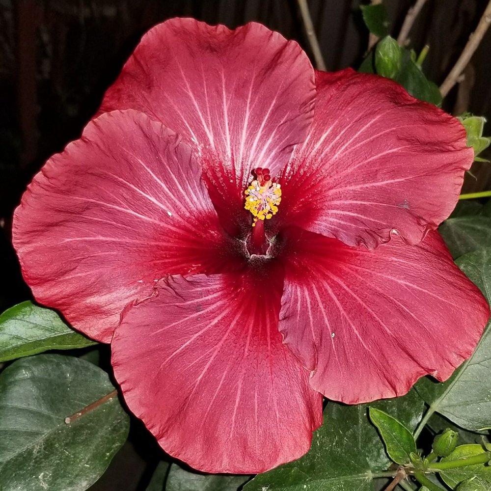 Hibiscus Rosalie in 150mm Advanced pot - Trigg Plants
