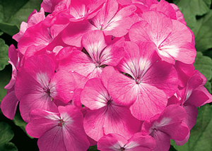 Pinto pink geranium live plant 25 inch pot mightylinksfo